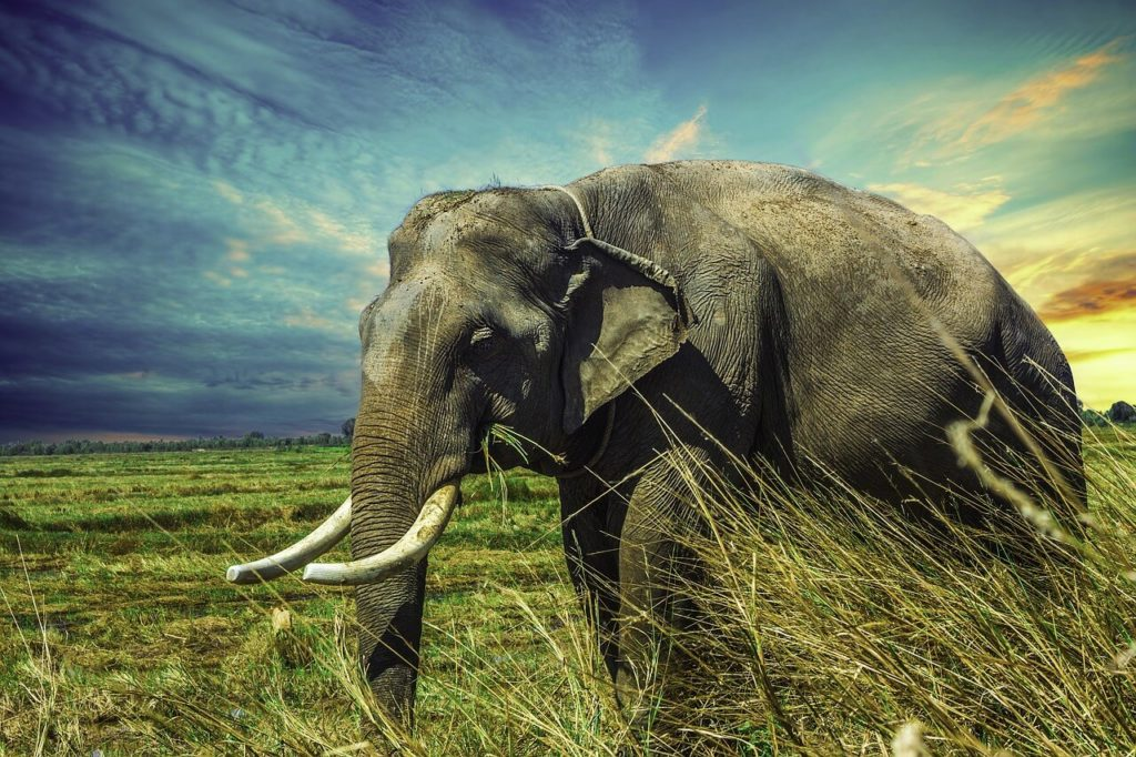 elephant in grasslands